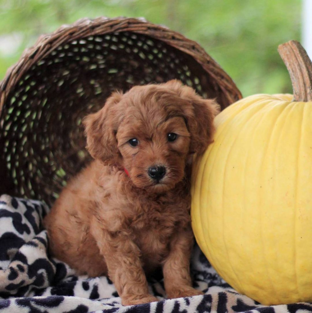 Paula - f1bb Toy Goldlendoodle pupper for sale near Newville, Pennsylvania