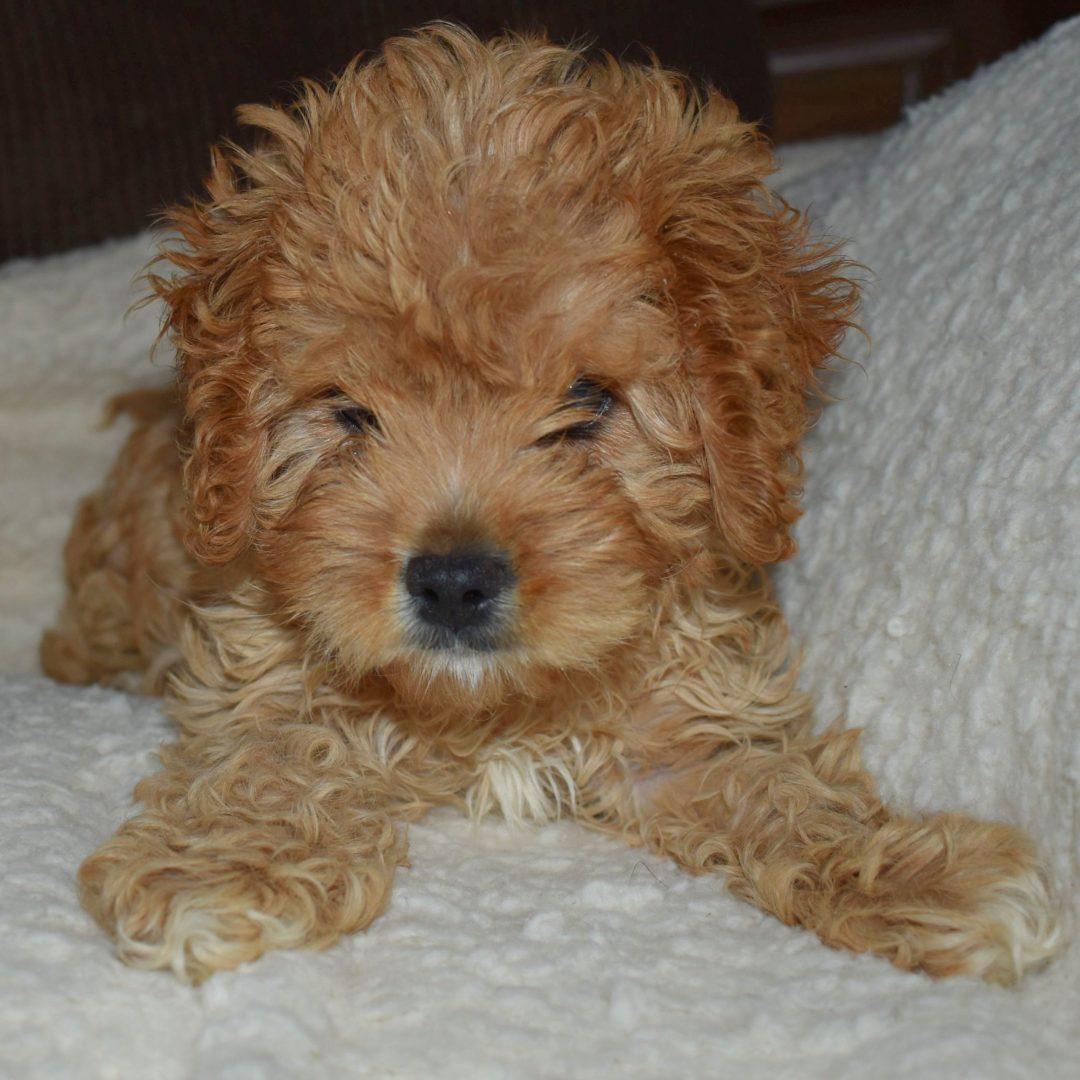 Penny- F1 Cavapoo puppie for sale near Mt. Pleasant Mills, Pennsylvania