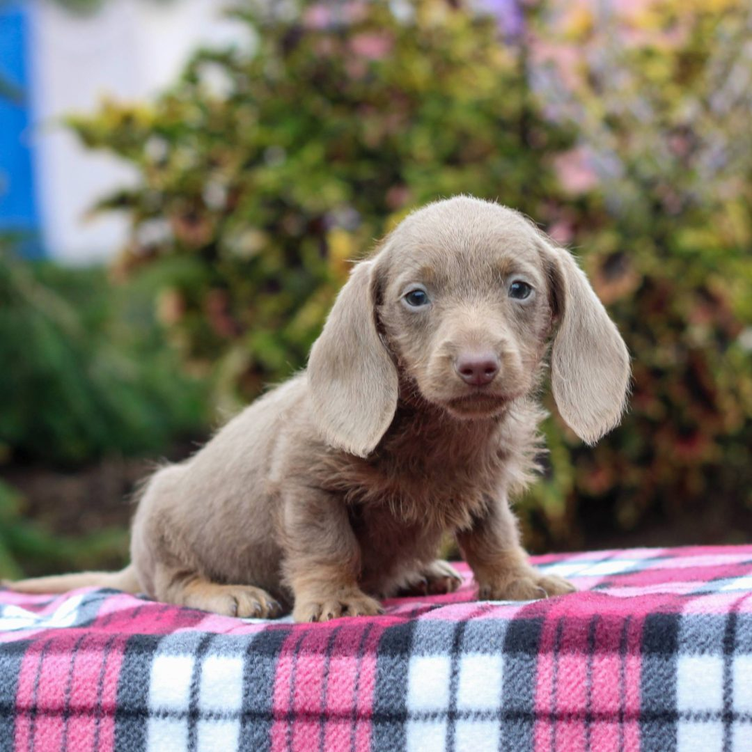 Peyton - male AKC Mini Dachshund doggie for sale at Honey Brook, Pennsylvania