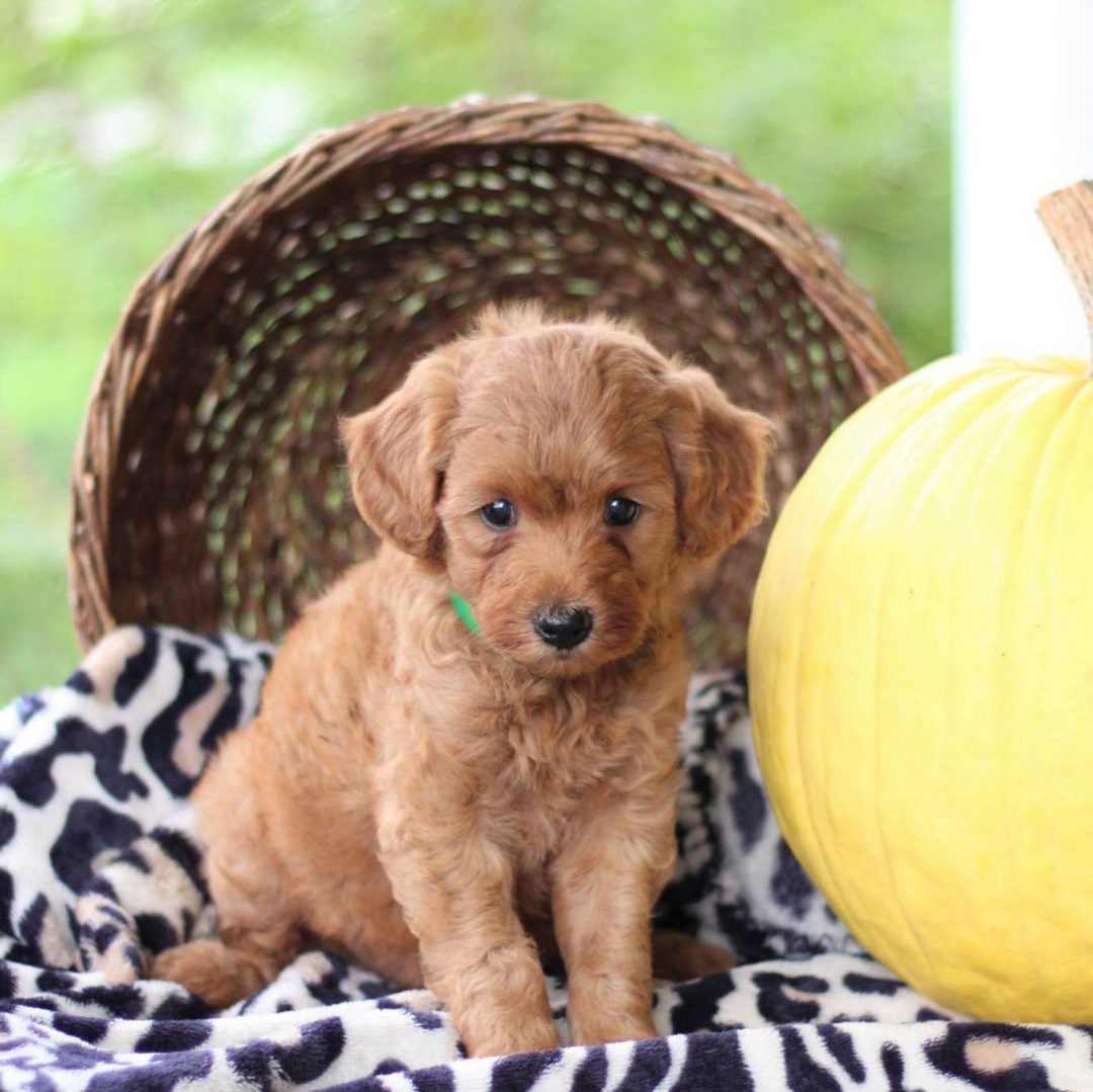Pollyanna- f1bb Toy Goldlendoodle doggie for sale at Newville, Pennsylvania
