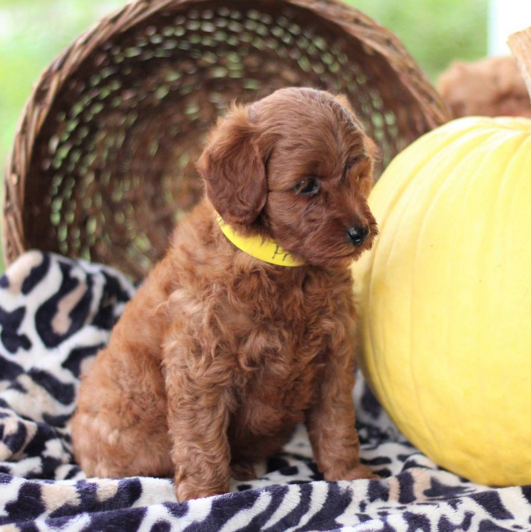 Princess - f1bb Toy Goldlendoodle puppie for sale in Newville, Pennsylvania