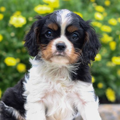 Reed - Cavalier King Charles Spaniel doggie for sale near Narvon, Pennsylvania
