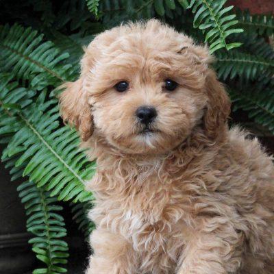 Riley - F1 Maltipoo pup for sale in Gordonville, Pennsylvania