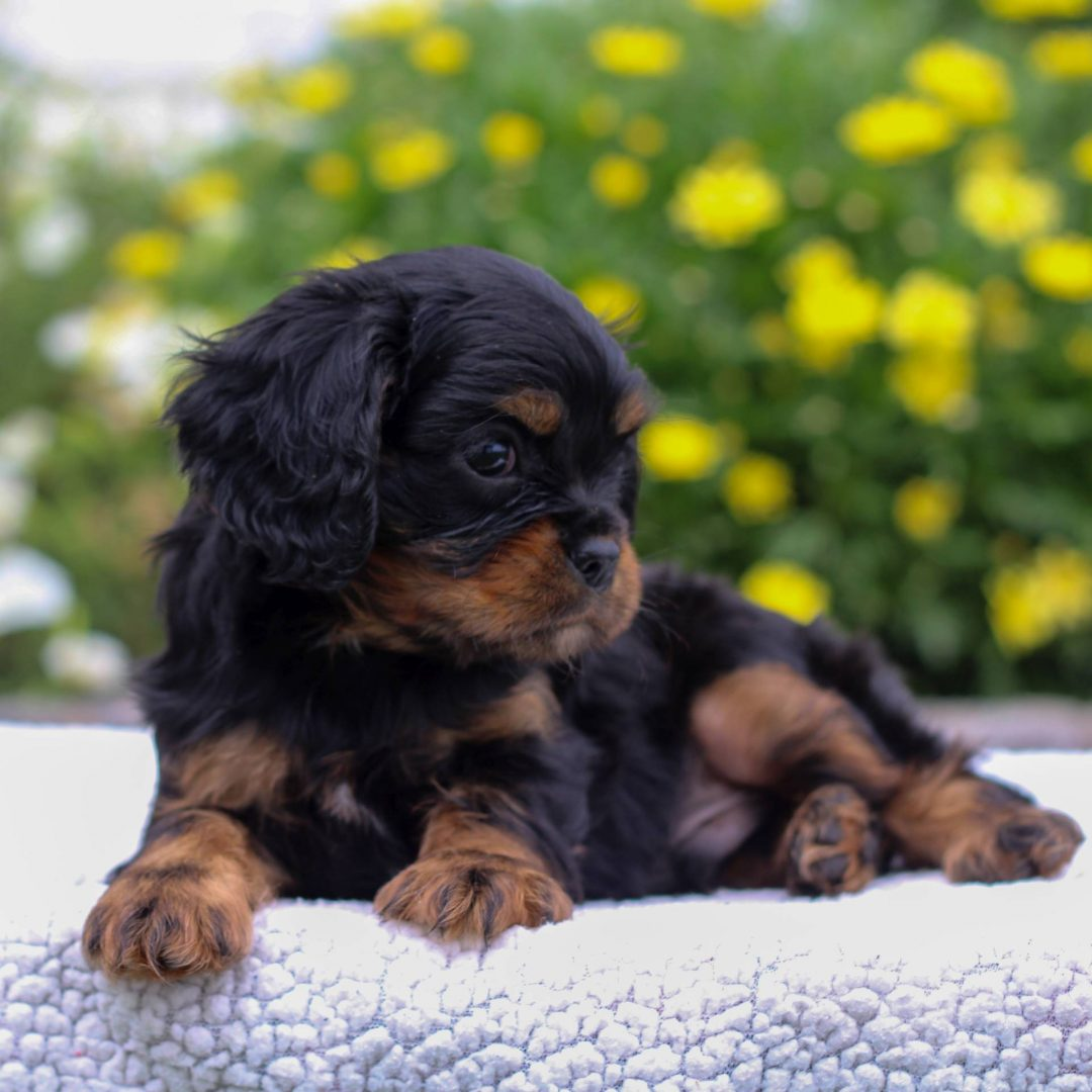 Rowan - Cavalier King Charles Spaniel puppy for sale in Narvon, Pennsylvania