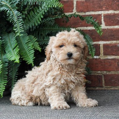 Ryan - F1 Maltipoo puppie for sale near Gordonville, Pennsylvania