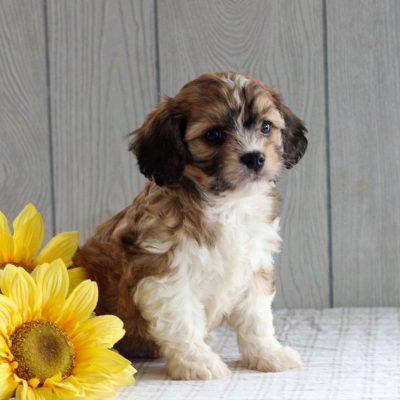 Sammy- F1 Cavachon puppy for sale at Gordonville, Pennsylvania