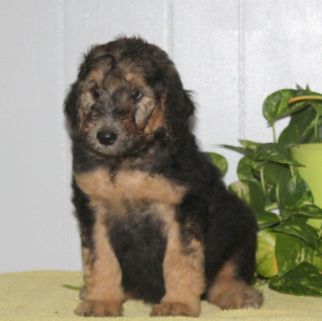 Scamper - male AKC Standard Poodle pupper for sale in Nottingham, Pennsylvania