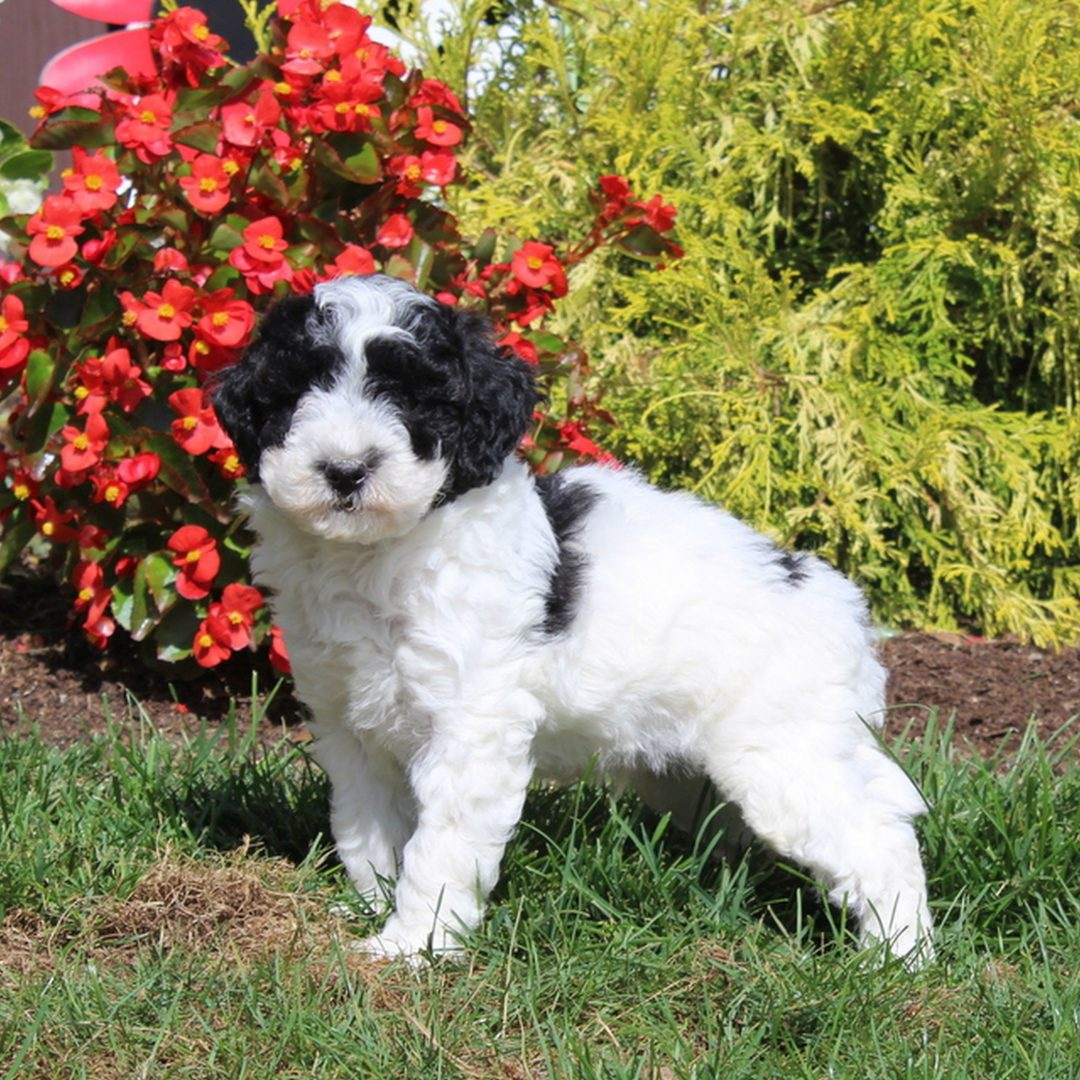 Shep - AKC Mini Poodle pup for sale at Christiana, Pennsylvania