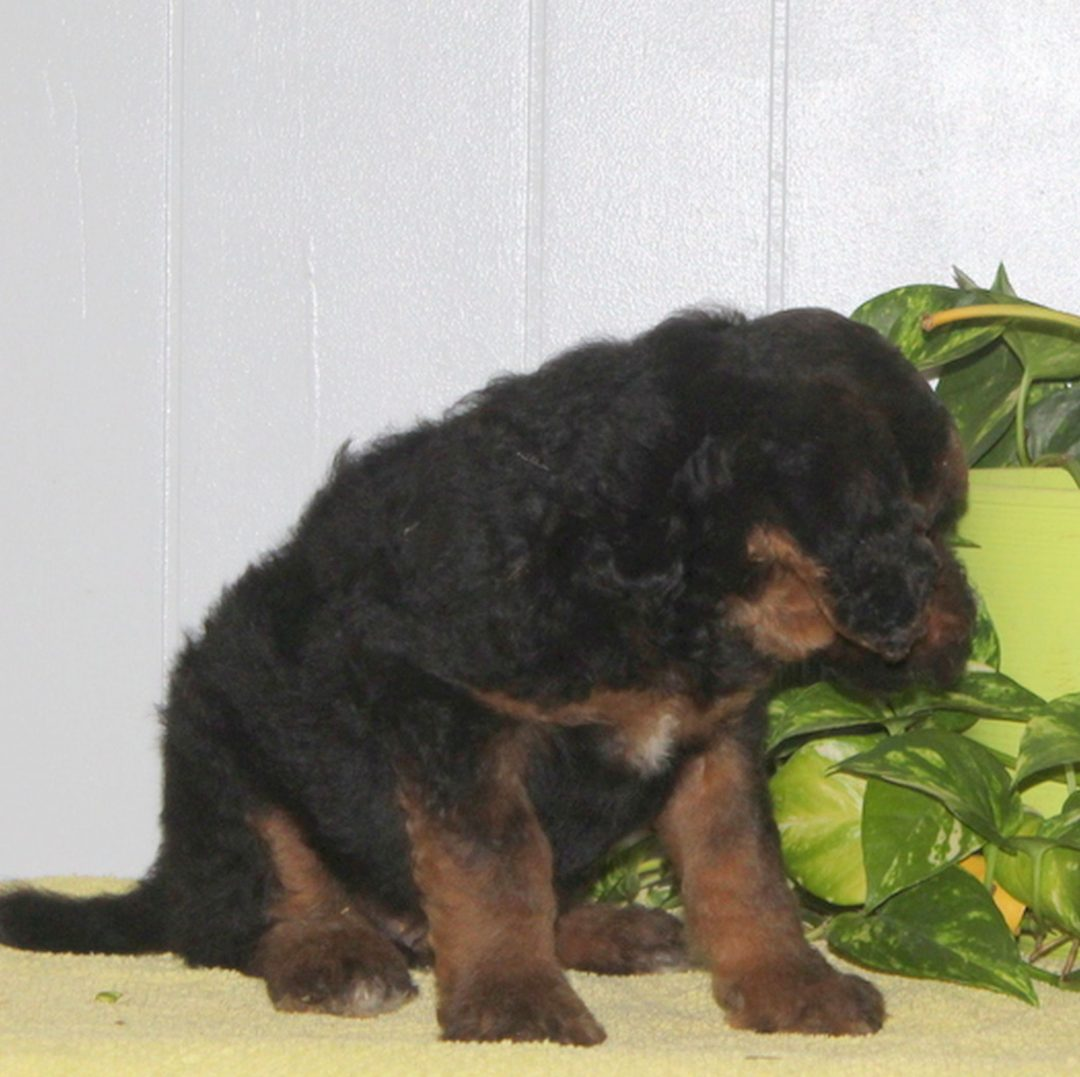 Shiloh- AKC Standard Poodle puppie for sale at Nottingham, Pennsylvania