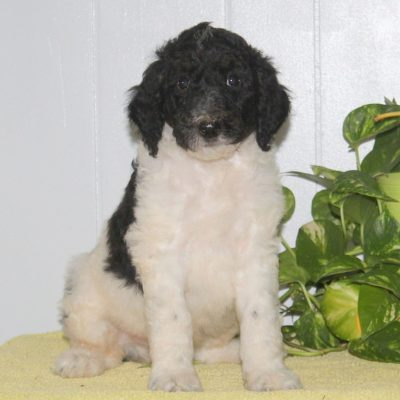 Skippy- AKC Standard Poodle puppie for sale near Nottingham, Pennsylvania
