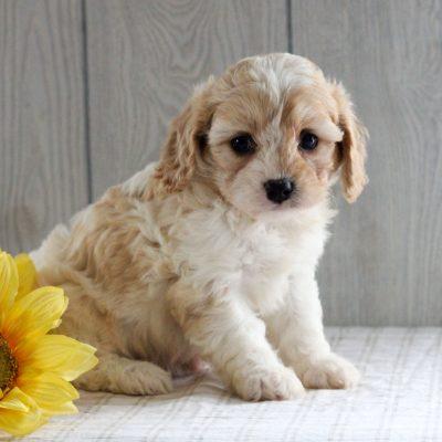 Sparkle- doggie F1 Cavachon for sale in Gordonville, Pennsylvania