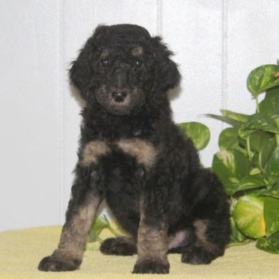 Stanley - doggie AKC Standard Poodle for sale in Nottingham, Pennsylvania
