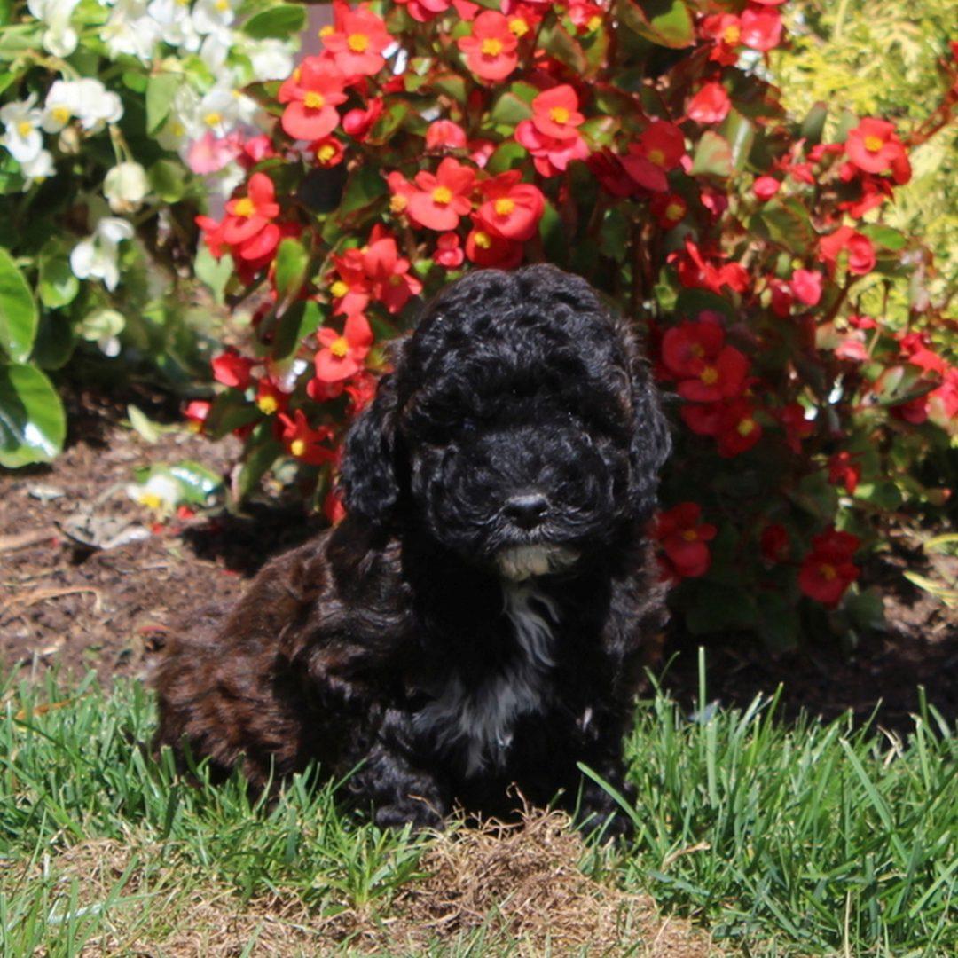 Sunshine - AKC Mini Poodle puppy for sale in Christiana, Pennsylvania