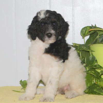 Sweetie - AKC Standard Poodle pup for sale Nottingham, Pennsylvania