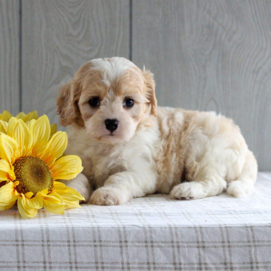 Sweetie - F1 Cavachon puppie for sale near Gordonville, Pennsylvania