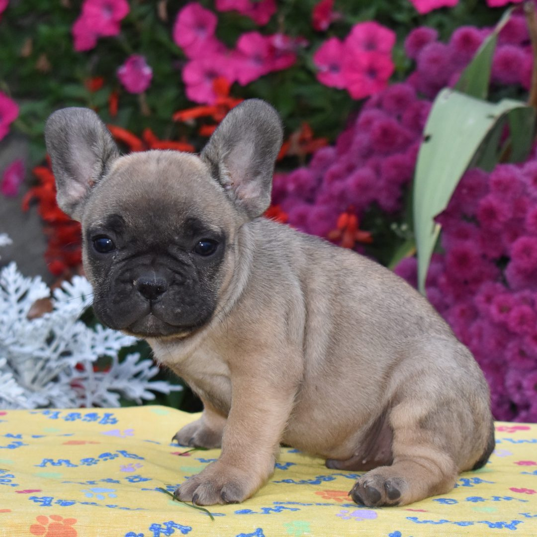 Tippy - AKC French Bulldog pup for sale at Aaronburg, Pennsylvania