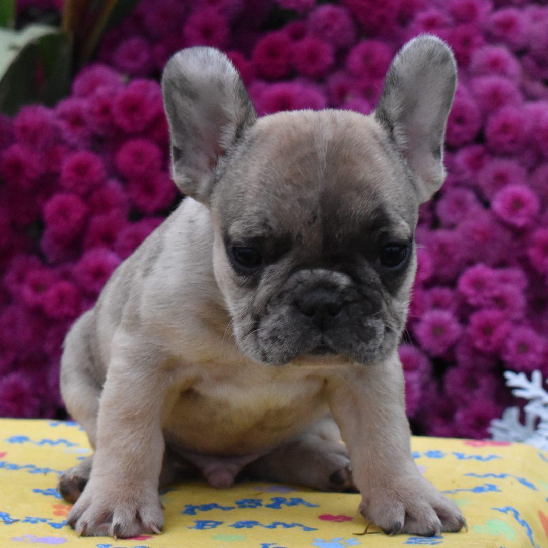 Tommy- AKC French Bulldog pupper for sale near Aaronburg, Pennsylvania