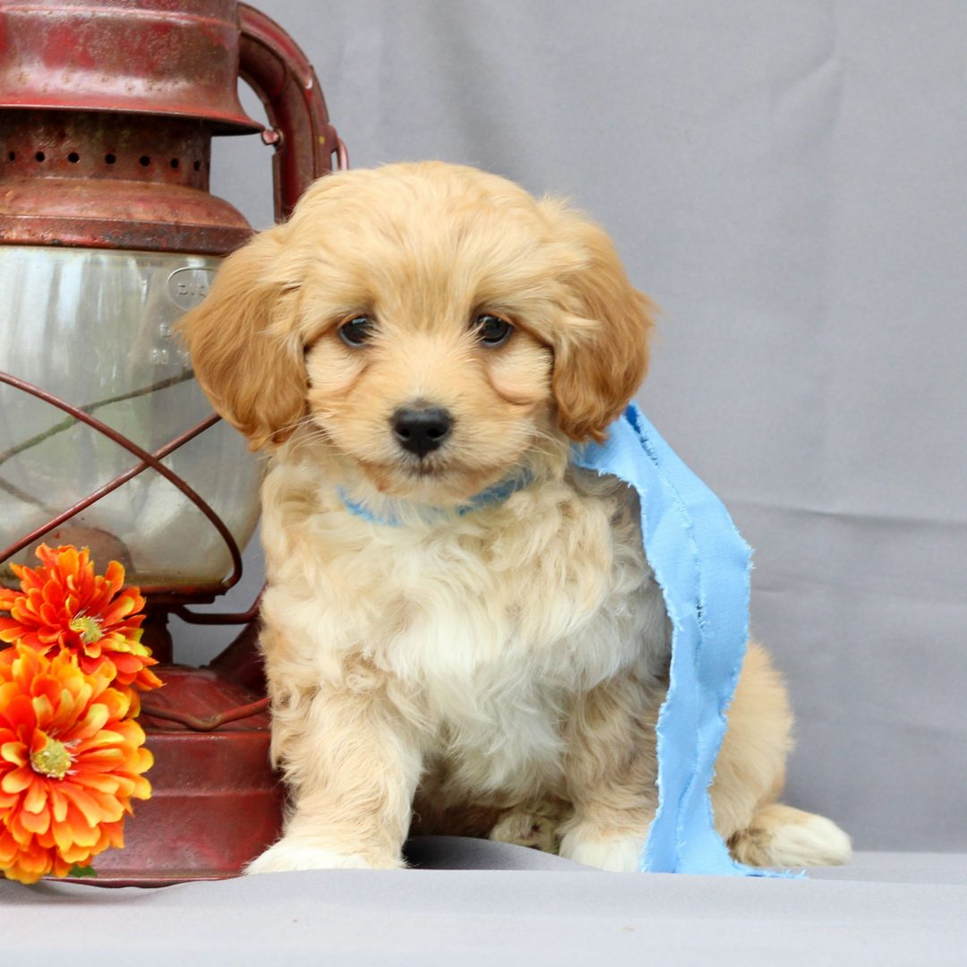 Trent - puppie Mini Irish Doodle for sale at Newmanstown, Pennsylvania
