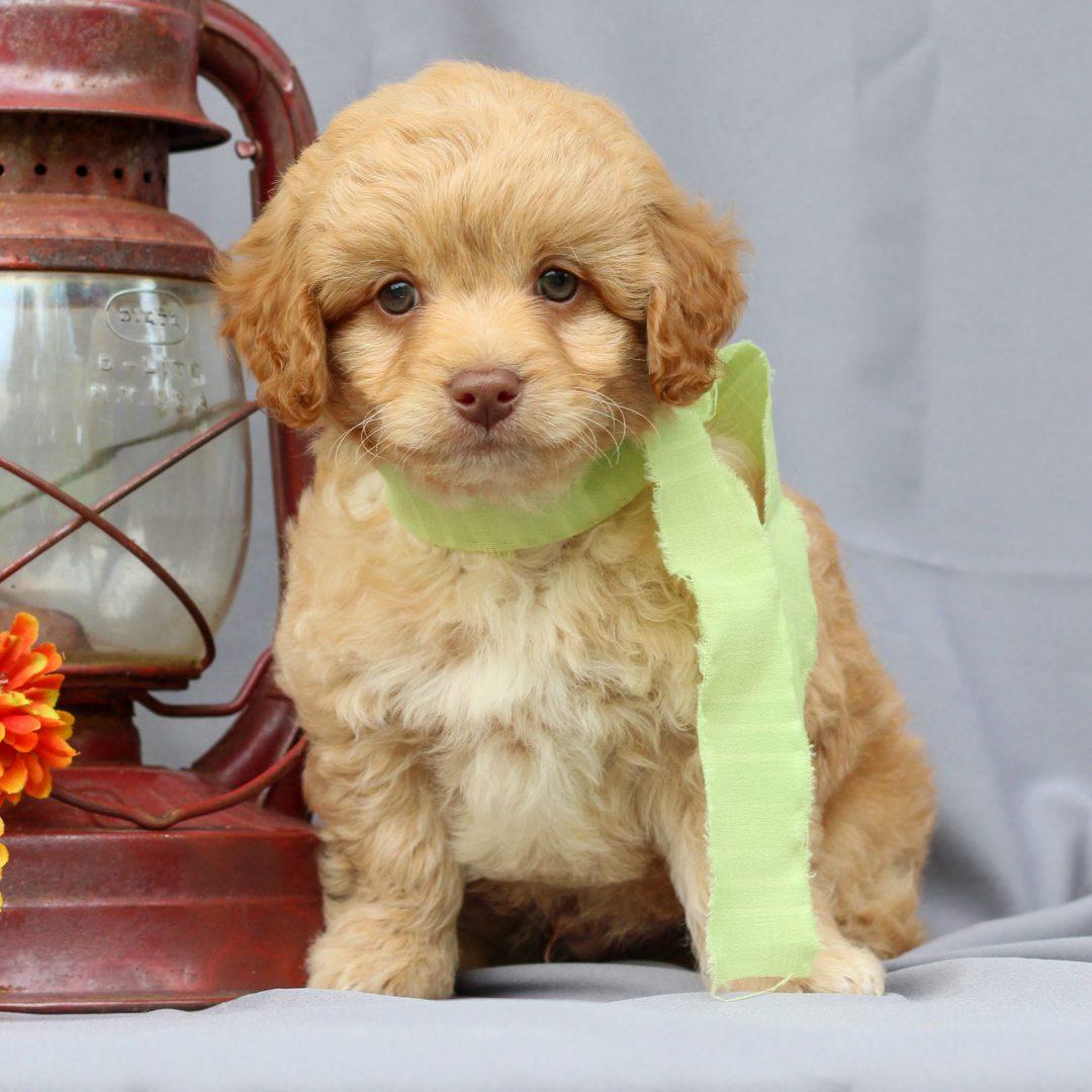 Trevor - Mini Irish Doodle pupper for sale in Newmanstown, Pennsylvania