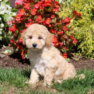 Tucker - AKC Mini Poodle pupper for sale near Christiana, Pennsylvania