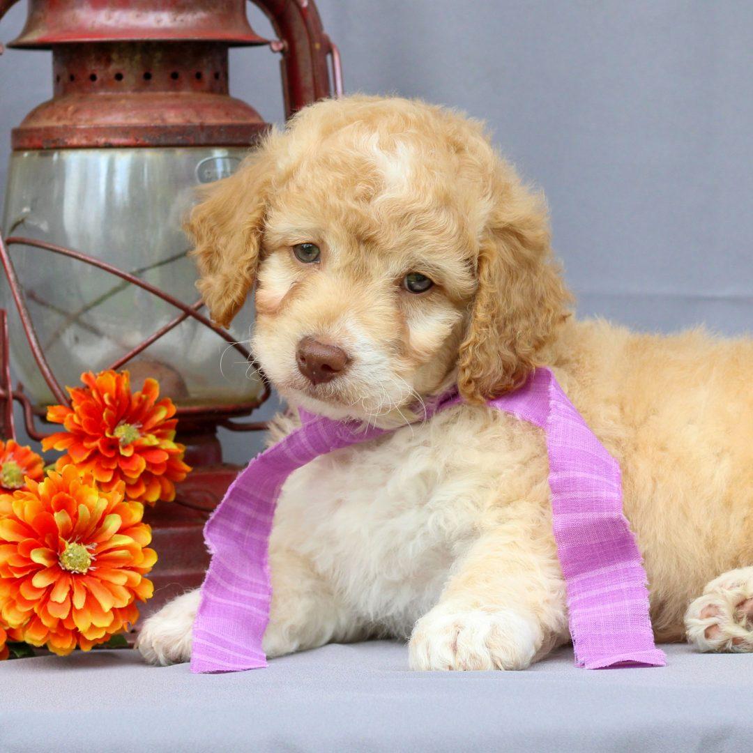 Tucker - Mini Irish Doodle pup for sale near Newmanstown, Pennsylvania