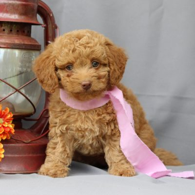Twinkle - Mini Irish Doodle puppy for sale at Newmanstown, Pennsylvania