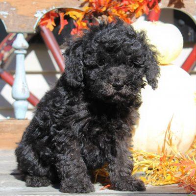 Waylon- ACA Mini Poodle