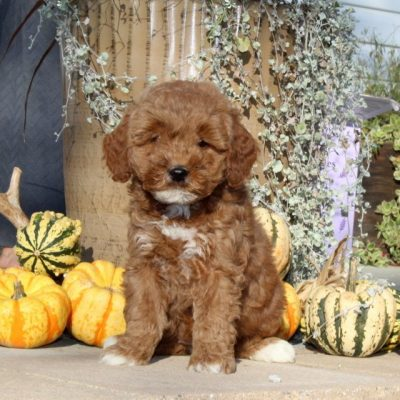 Wendy - F1bb Mini Goldendoodle puppy for sale at Christiana, Pennsylvania