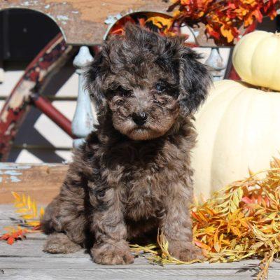 Wendy - ACA Mini Poodle