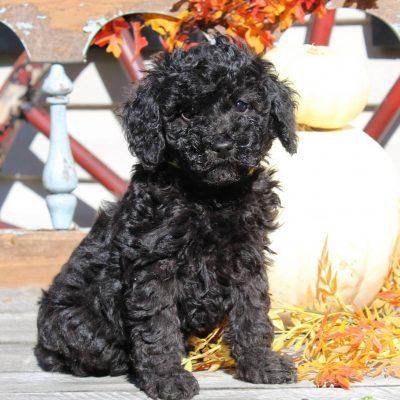 Whitney - ACA Mini Poodle