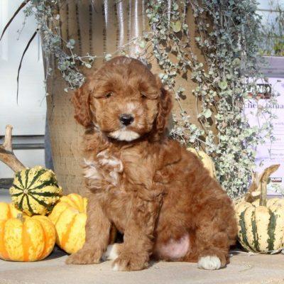 Wiggles - F1bb Mini Goldendoodle pup for sale near Christiana, Pennsylvania