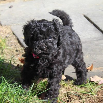 Willow - ACA Mini Poodle