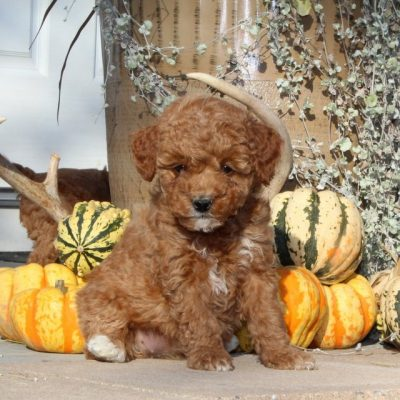Wonderful - F1bb Mini Goldendoodle puppie for sale at Christiana, Pennsylvania