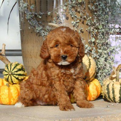 Wren - F1bb Mini Goldendoodle doggie for sale near Christiana, Pennsylvania