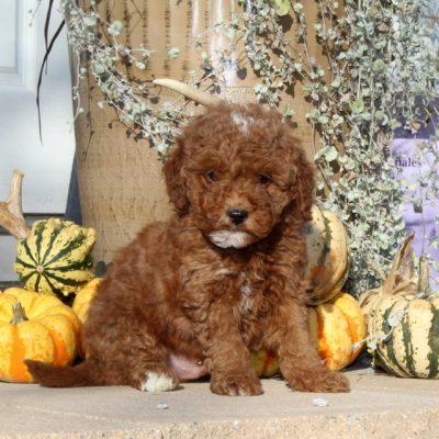 Wyatt - F1bb Mini Goldendoodle puppy for sale in Christiana, Pennsylvania