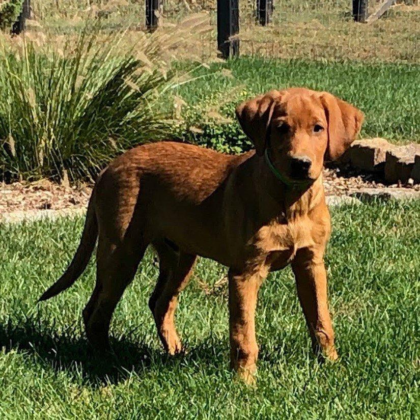 Hulk- AKC Fox Red labrador Retreiver pup for sale at Bird-in-Hand, Pennsylvania