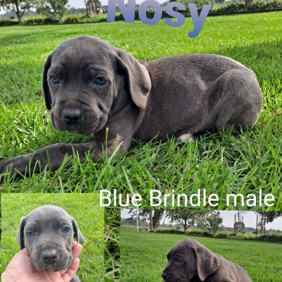 Cane Corso - puppy ICCF Cane Corso male for sale at New Haven, Indiana