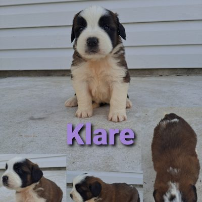 AKC Saint Bernard doggie for sale in New Haven, Indiana