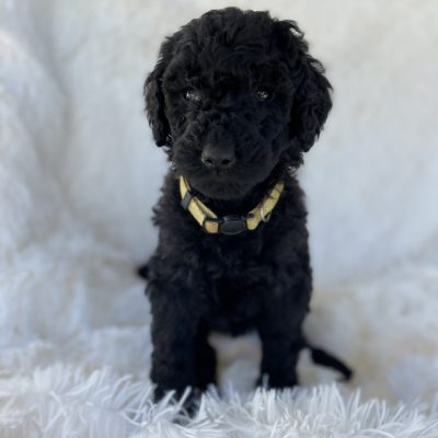 Yellow - AKC Standard Poodle female puppy for sale at Greenville, Ohio