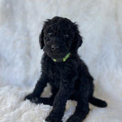 Green - AKC Standard Poodle doggie male for sale in Greenville, Ohio