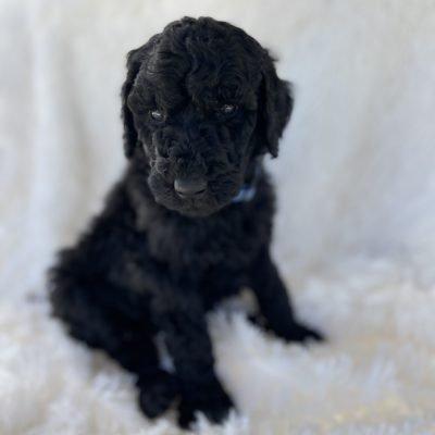 Dark Blue - puppie AKC Standard Poodle male for sale near Greenville, Ohio
