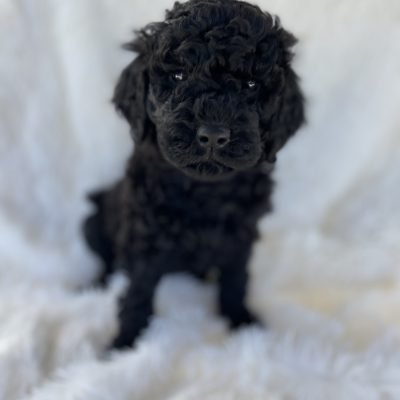 Pink - AKC Standard Poodle female pup for sale near Greenville, Ohio