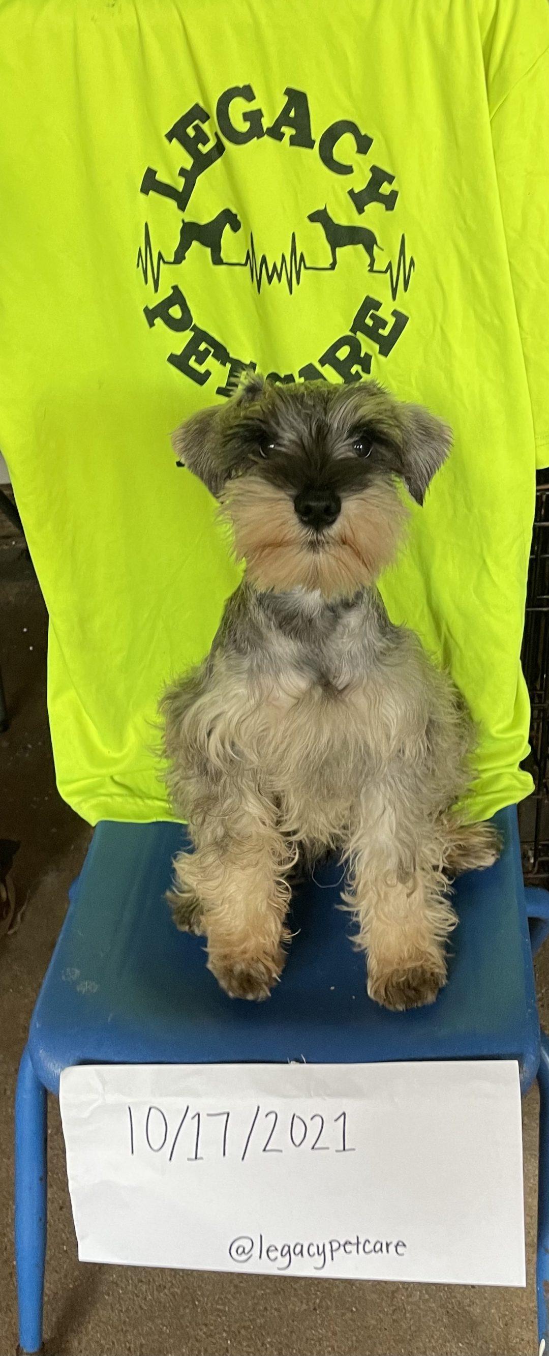 Wolfgang -Flawless Salt and Pepper - AKC Mini Schnauzer male doggie for sale near Houston, Texas