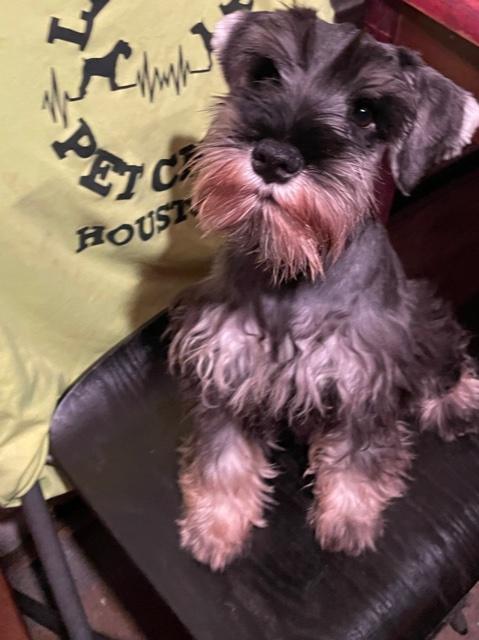 THEODORE - AKC Miniature Schnauzer male puppie for sale at Houston, Texas