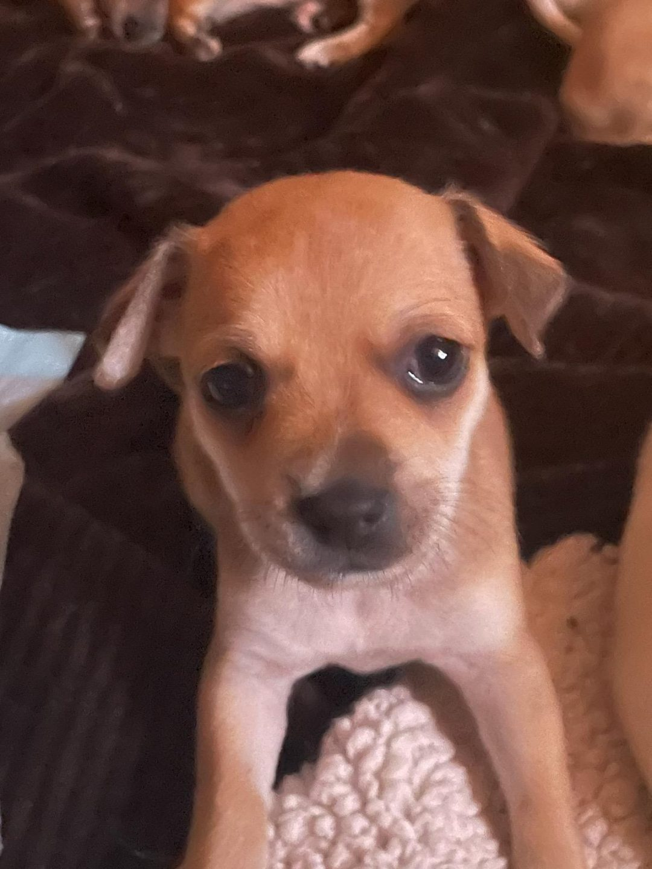 Israel - Chihuahua female puppie for sale near New River, Arizona