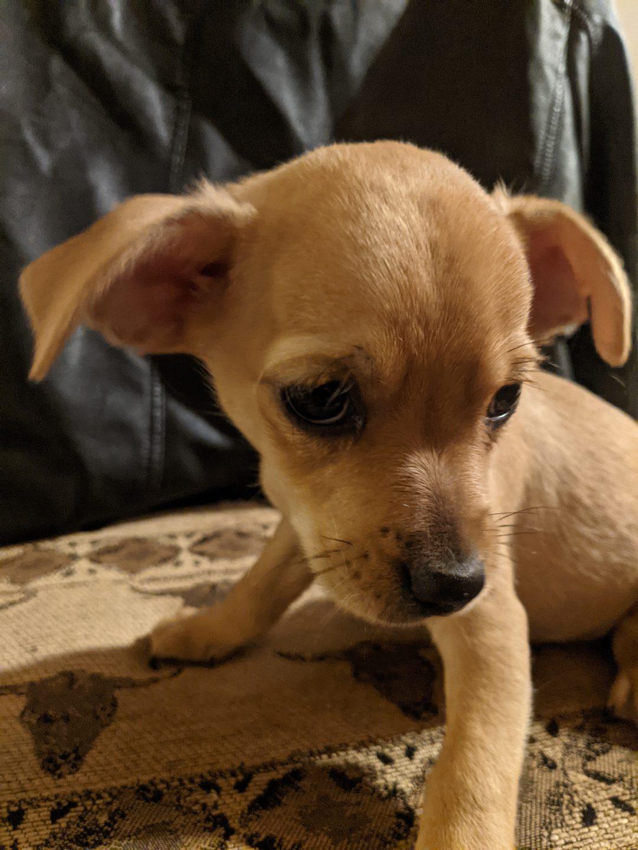 Berlin - Chihuahua male puppy for sale near New River, Arizona