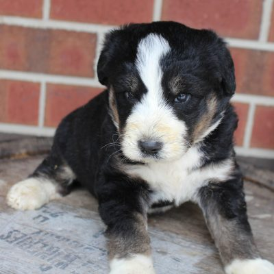 Buster - Husky-poo pupper for sale at New Haven, Indiana