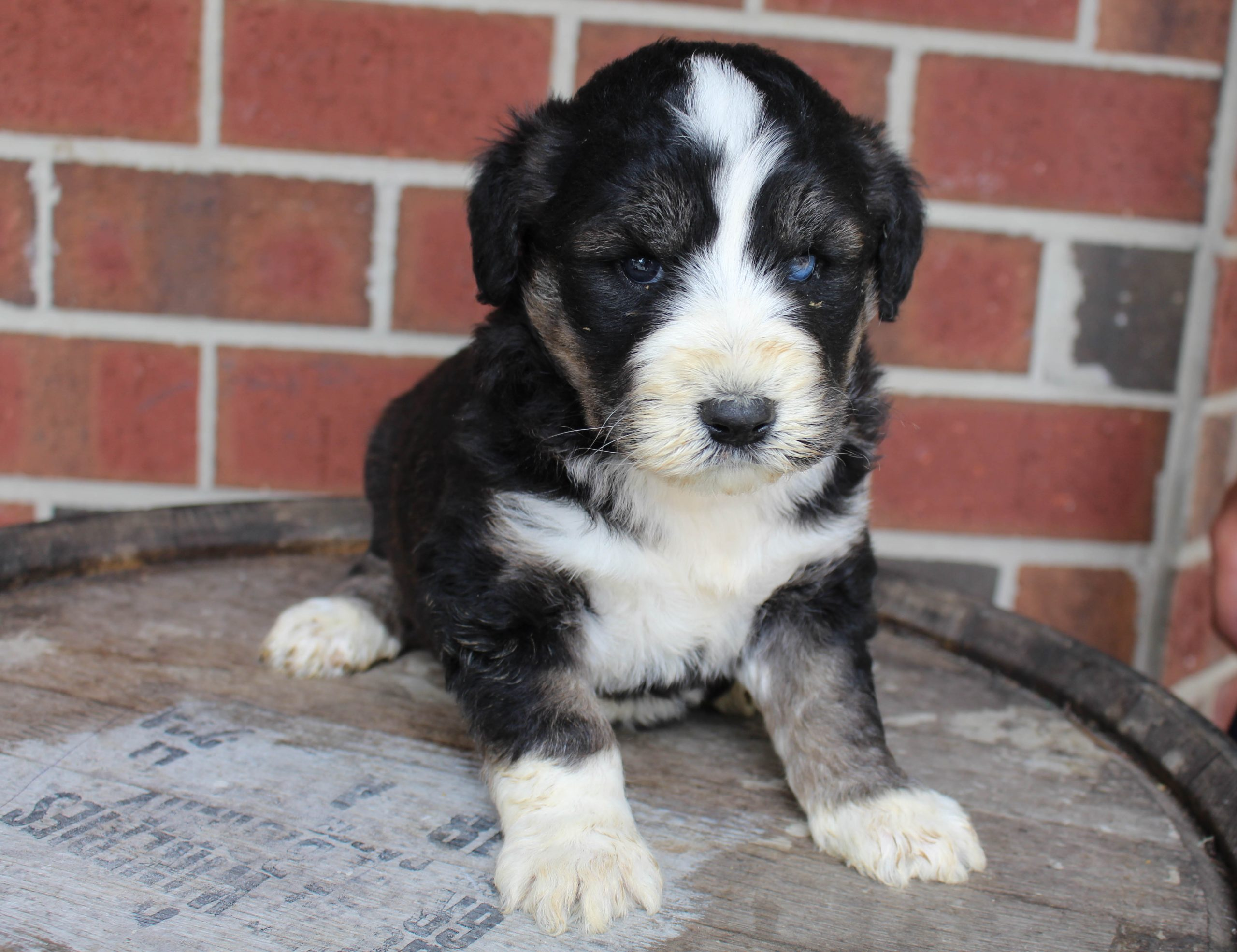 Buddy - male Husky-poo puppie for sale near New Haven, Indiana