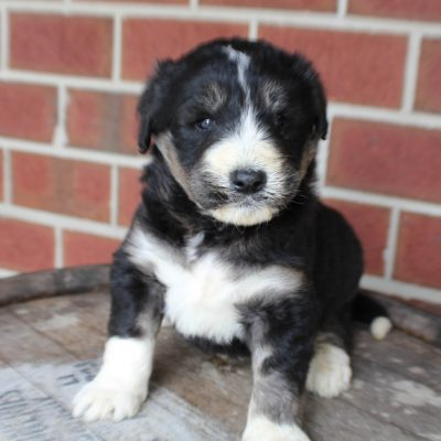 Brooke - Husky-poo doggie for sale in New Haven, Indiana