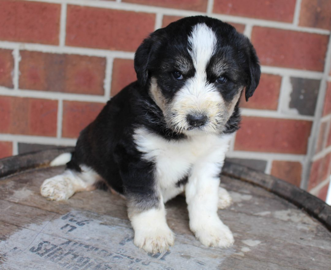 Brianna - Husky-poo female puppy for sale at New Haven, Indiana
